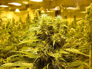 Aurora, Denver, CO. Marijuana Growers Insurance